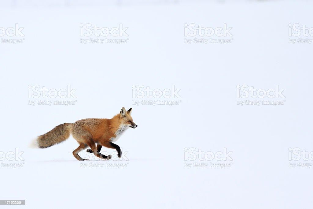 Red Fox trotting on snow stock photo