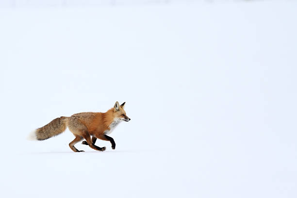 red fox trotting on snow - fox stock photos and pictures