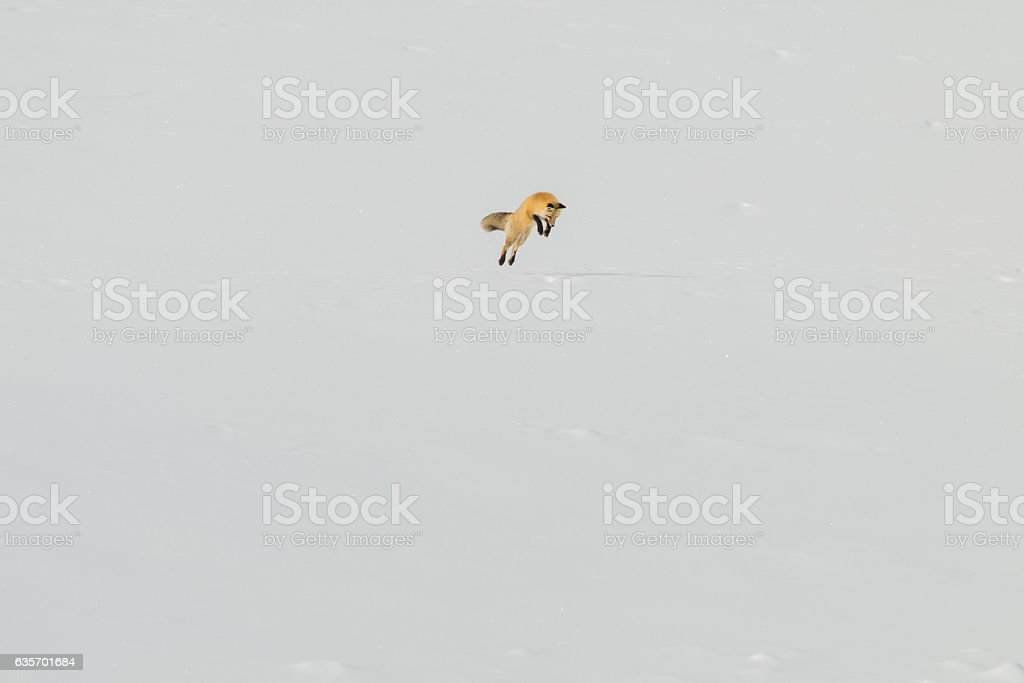 Red fox trying to catch some lunch, Yellowstone National Park. royalty-free stock photo