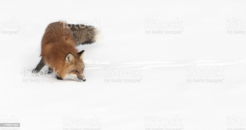 Red Fox Turn and Sniff stock photo