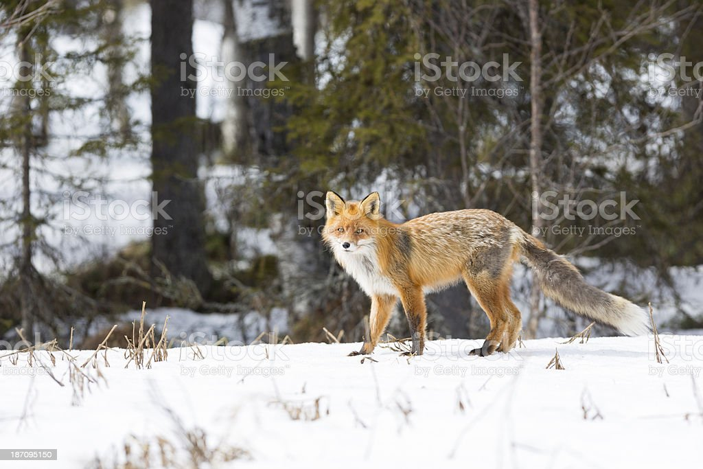 Red fox, Vulpecula, in winter time stock photo