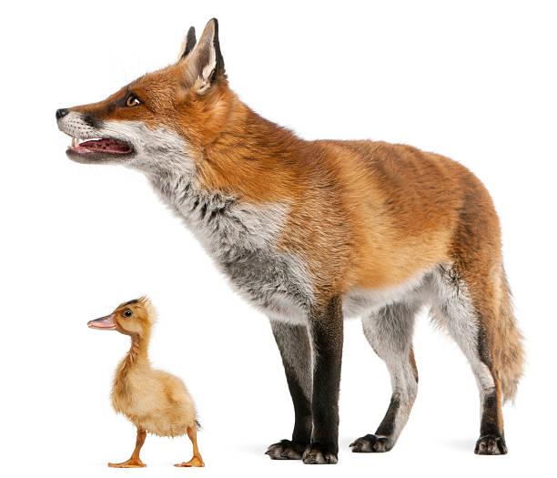 Raposa Vermelha, Vulpes, 4 anos - foto de acervo