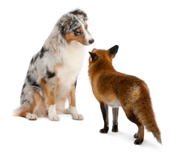 Red fox vulpes vulpes 4 years old playing with australian shepherd picture id855887558?b=1&k=6&m=855887558&s=612x612&w=0&h=0mea3jowf7fg 38fd5ydtjc8dx pndhirgtorbm773i=