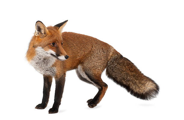 Red fox, Vulpes vulpes, 4 years old, standing stock photo