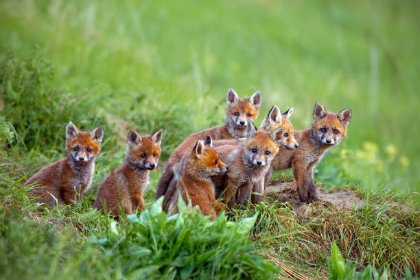 red fox, vulpes vulpes, cubs sitting by the den. - volpe foto e immagini stock