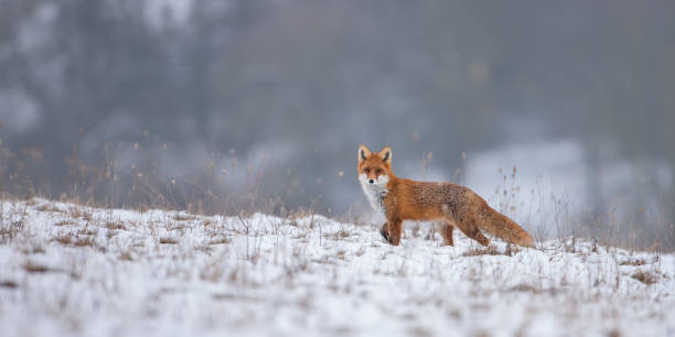 red fox, vulpes vulpes, on snow in winter. - volpe foto e immagini stock