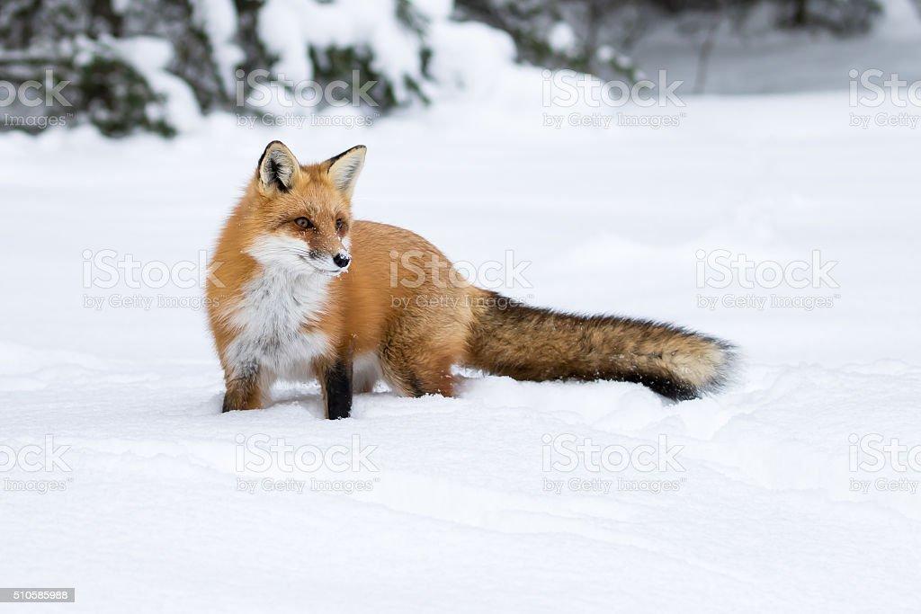 0 istock - Animali in inverno clipart ...
