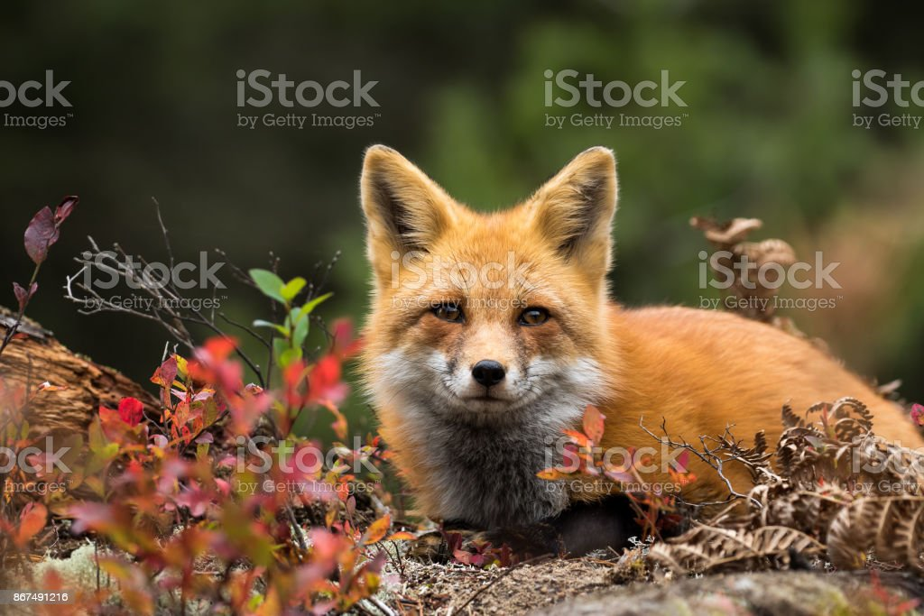 Raposa Vermelha, vulpes vulpes - foto de acervo