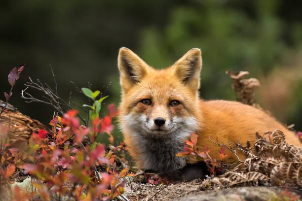 Red Fox - Vulpes vulpes stock photo