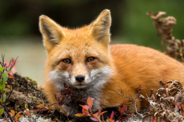 red fox - vulpes vulpes - volpe foto e immagini stock