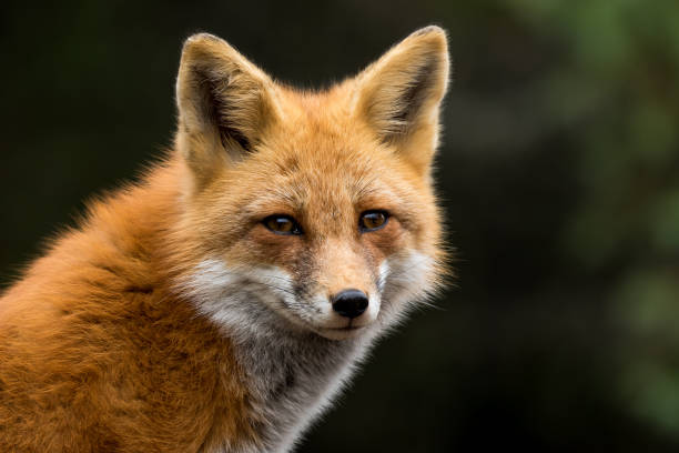 red fox - vulpes vulpes - fox stock photos and pictures