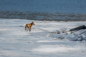 Red fox walking across iced over lake