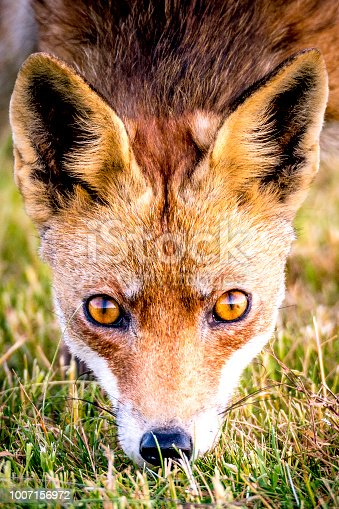 Red fox walking and looking into the camera from a field of freshly mown grass at the end of a spring day.