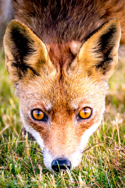 Red fox walking and looking into the camera from a field stock photo