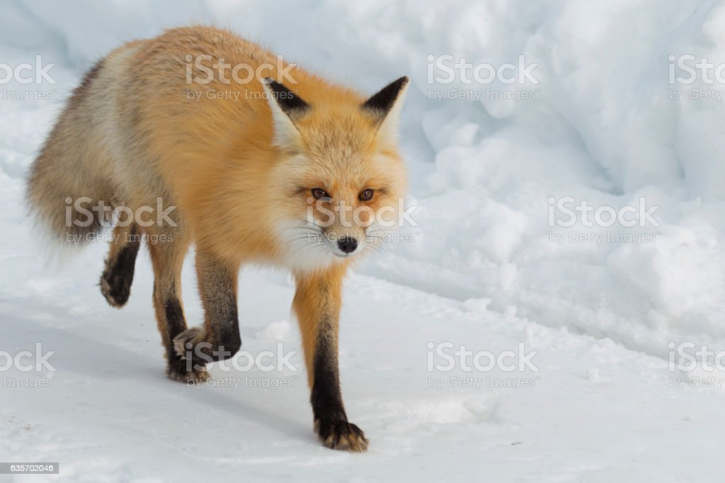 Red fox walking down the road in Yellostone National Park. royalty-free stock photo