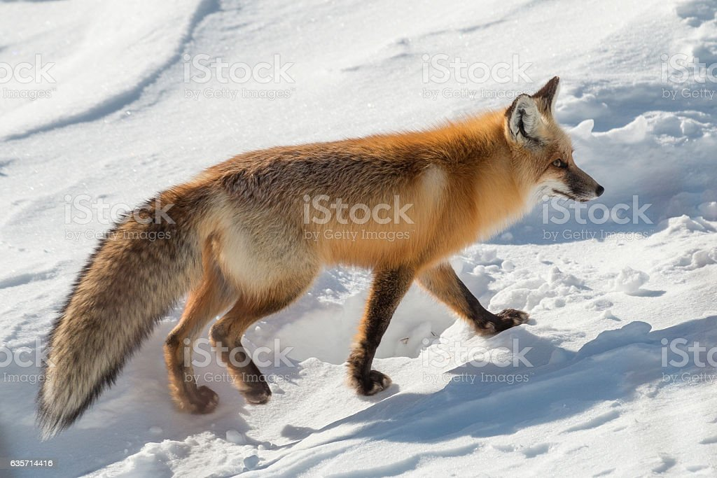 Red fox walking next to the road in Yellowstone. royalty-free stock photo