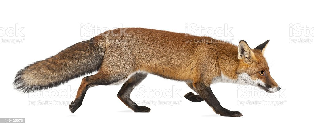 Red fox pé contra fundo branco - foto de acervo