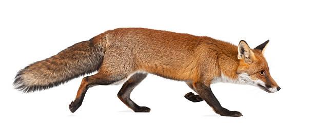 Red fox walking on white background stock photo