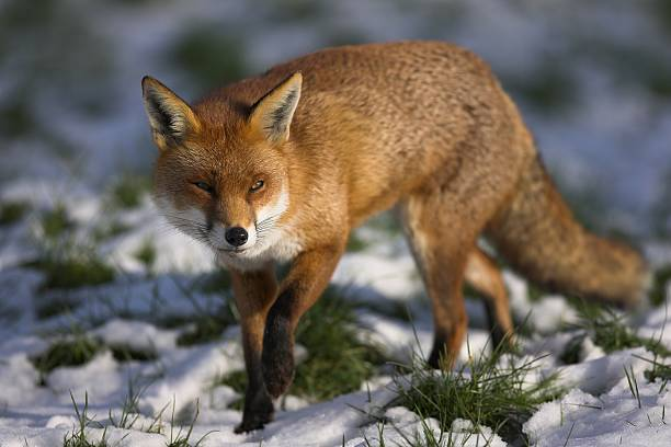 Red fox walking through some snowy grass stock photo