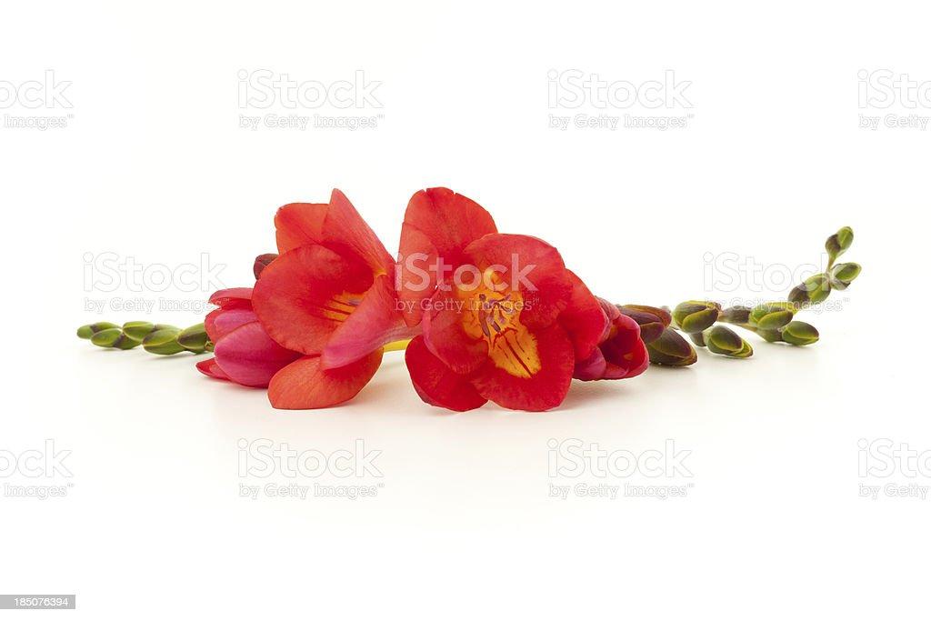 Red Freesia flowers stock photo