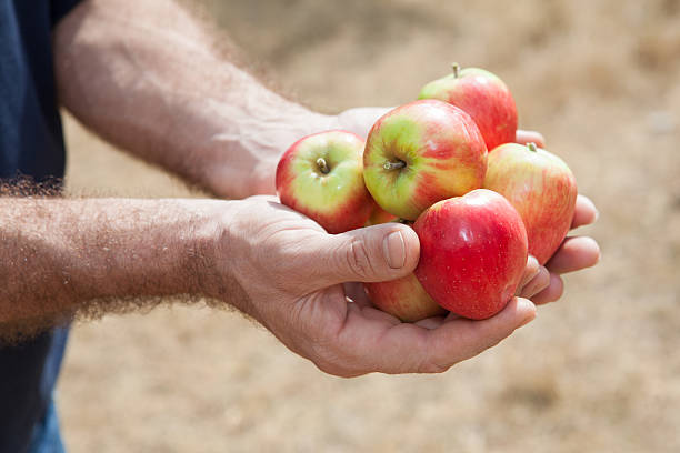 red fresh apples in human hands stock photo