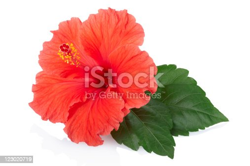 Red hibiscus flower with leaves isolated on white, clipping path included XXXL