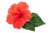 Red fresh Hibiscus flower
