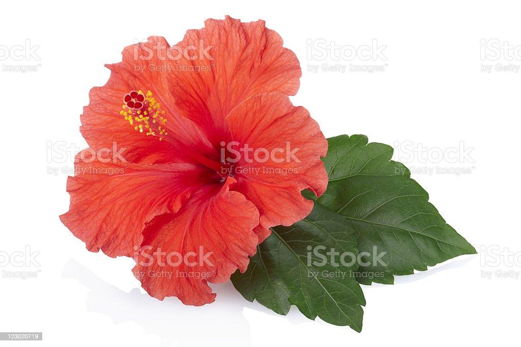 Red fresh Hibiscus flower stock photo