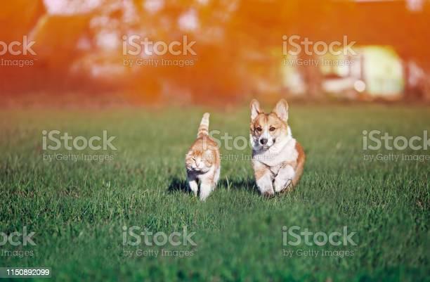 Red friends cat and puppy khulet on green grass at sunny summer on a picture id1150892099?b=1&k=6&m=1150892099&s=612x612&h=pjejxbfazapnmkidrrx m6ebctzbu8o1vjknxmziu8o=