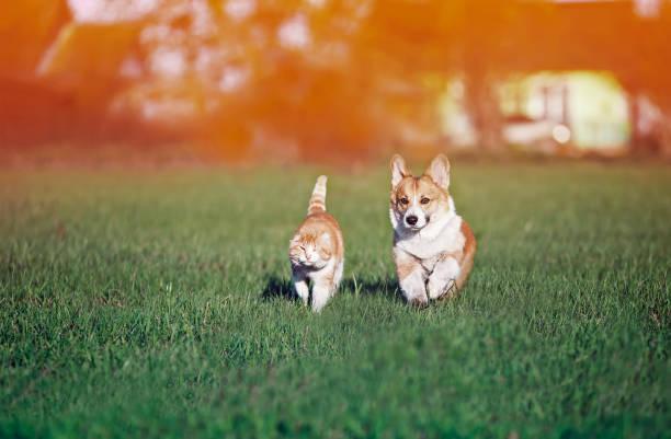 Red friends cat and puppy khulet on green grass at sunny summer on a picture id1150892099?b=1&k=6&m=1150892099&s=612x612&w=0&h=qabrq1t dzcd88qdijjjkpplb6hnpij nvkgfafo3jw=