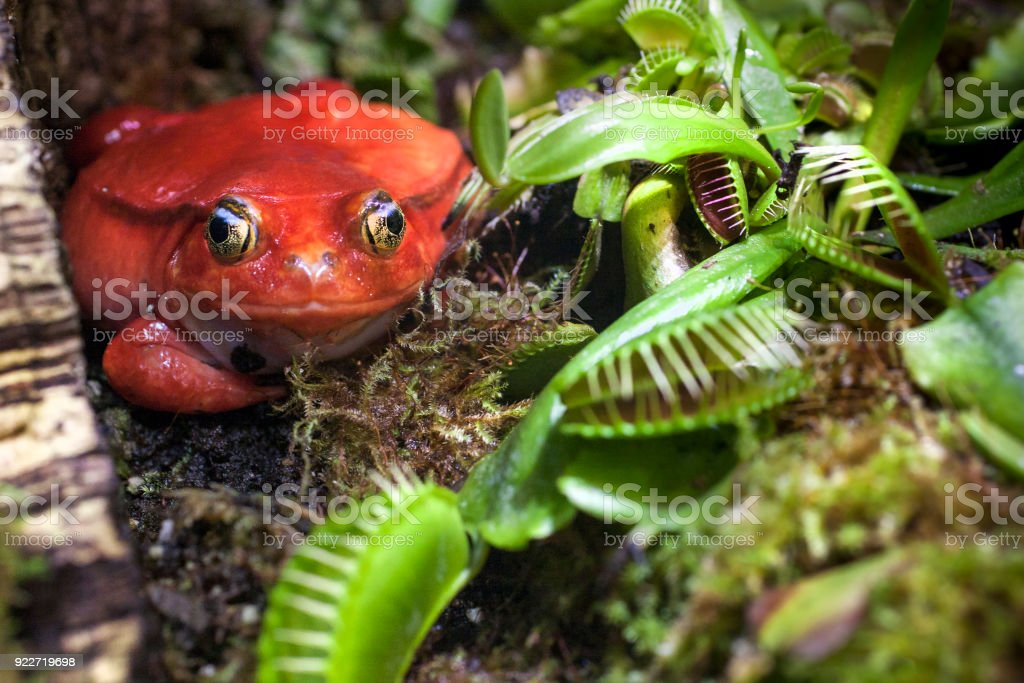 Red frog in carnivorous plants hunt on insects royalty-free stock photo