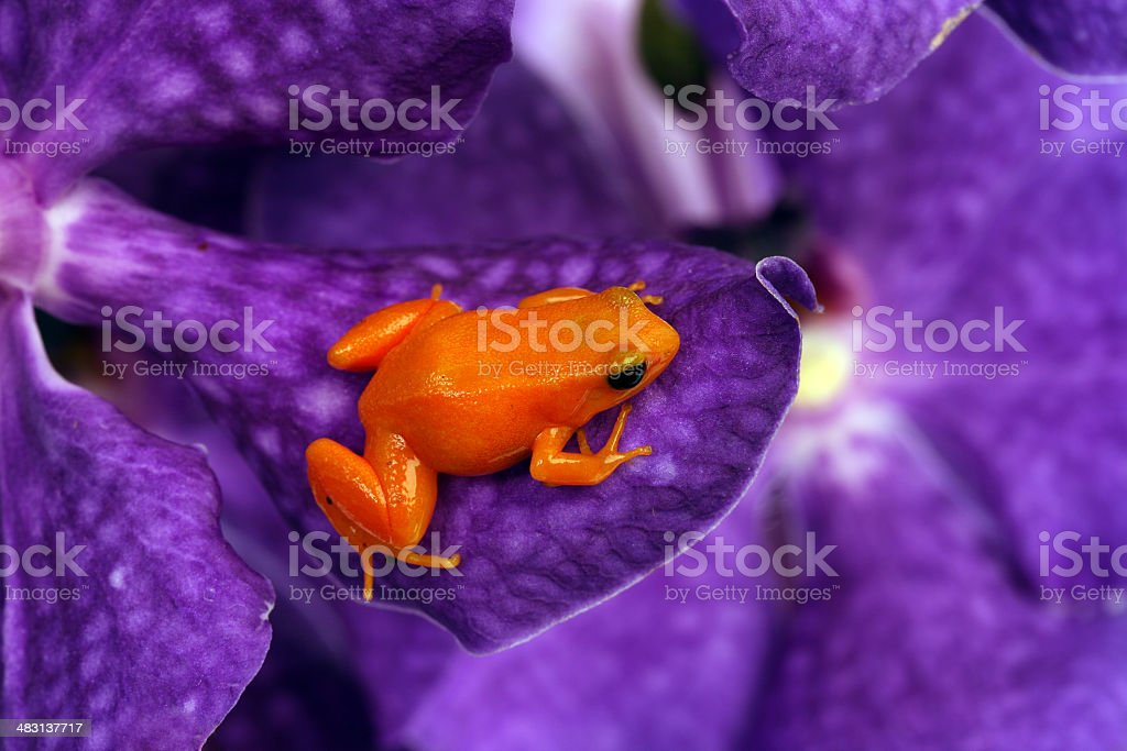Red frog on orchid. stock photo