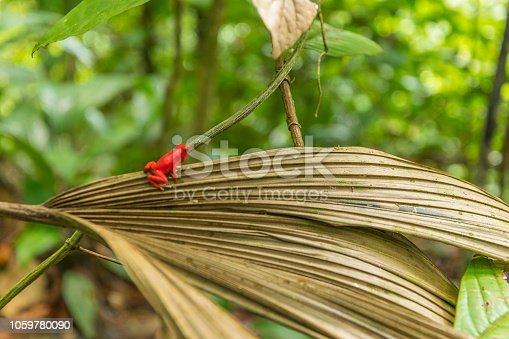 Red frog on a leaf.