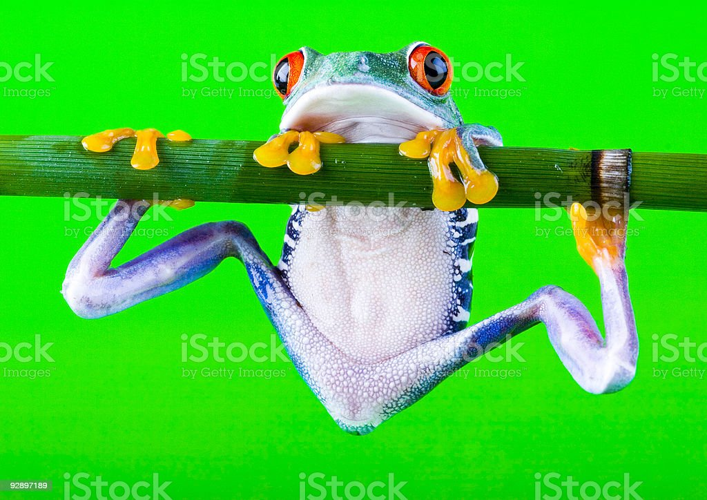 Red frog stock photo