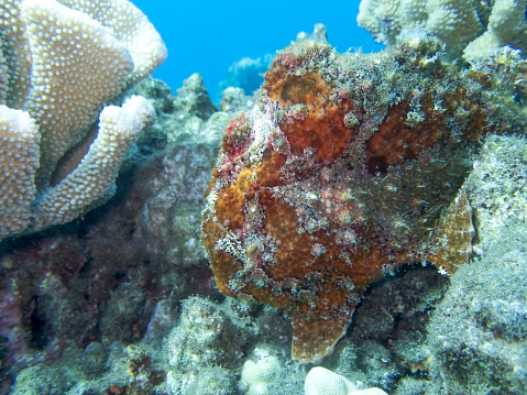 istock Red Frogfish on Reef with Corals and Textures 1049568048