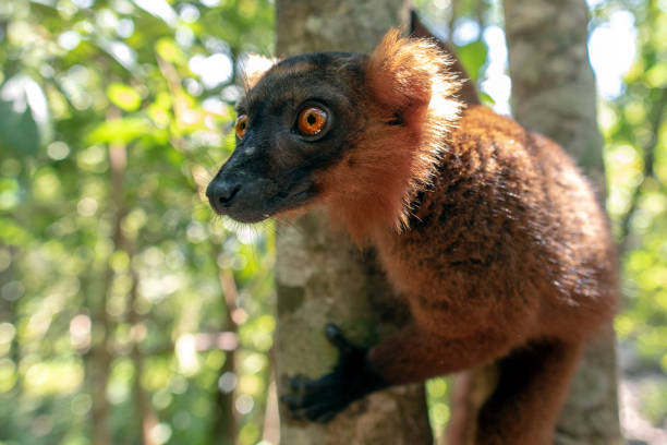 Red Fronted Brown Lemur ( Eulemur rufifrons ). Madagascar, Close up stock photo