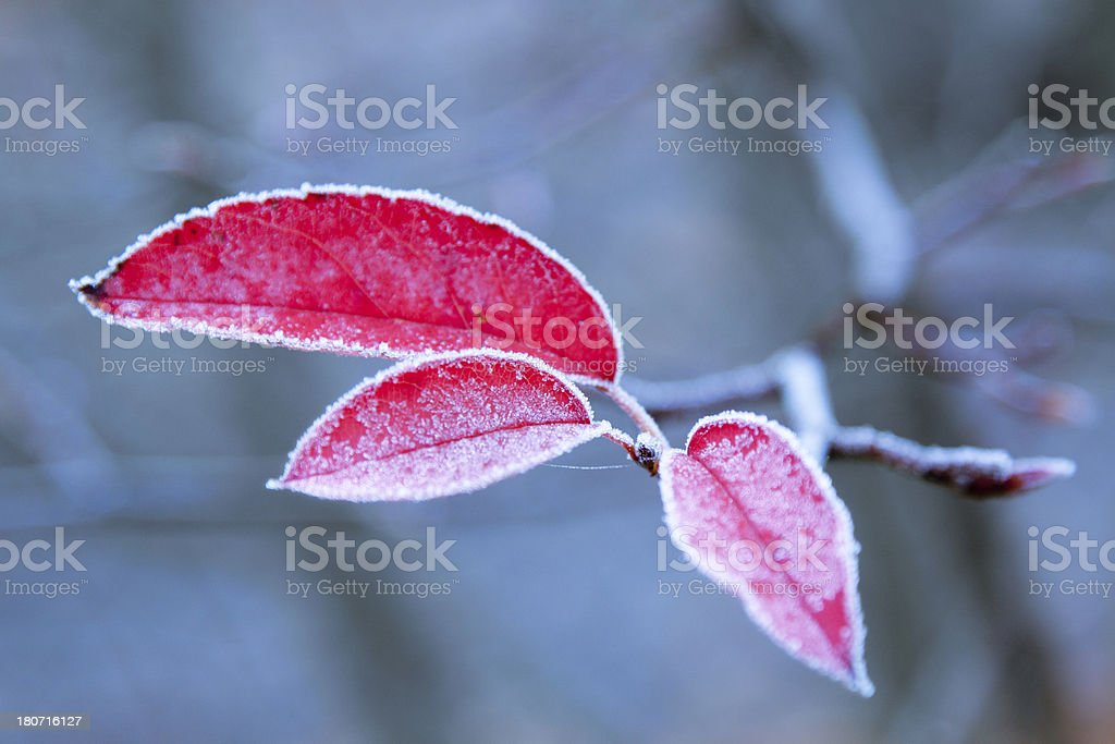 red frosted autumn leafes royalty-free stock photo
