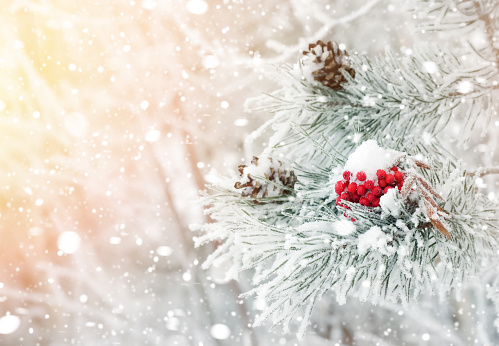 Red frozen rowan on  branch of pine.