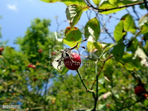 Red fruit of wild rose,(Rosa canina), Wild rose-hips on the bush