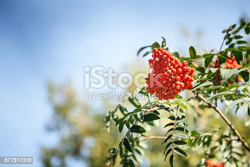 istock red fruit on the green branches of mountain ash 577317318