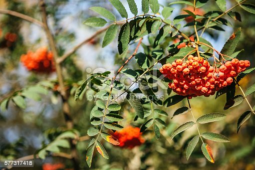 istock red fruit on the green branches of mountain ash 577317418