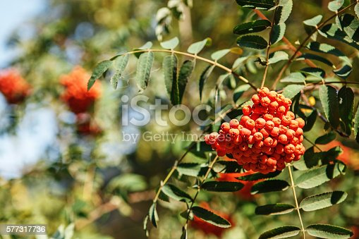 istock red fruit on the green branches of mountain ash 577317736