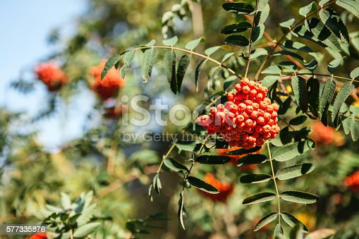 istock red fruit on the green branches of mountain ash 577335876