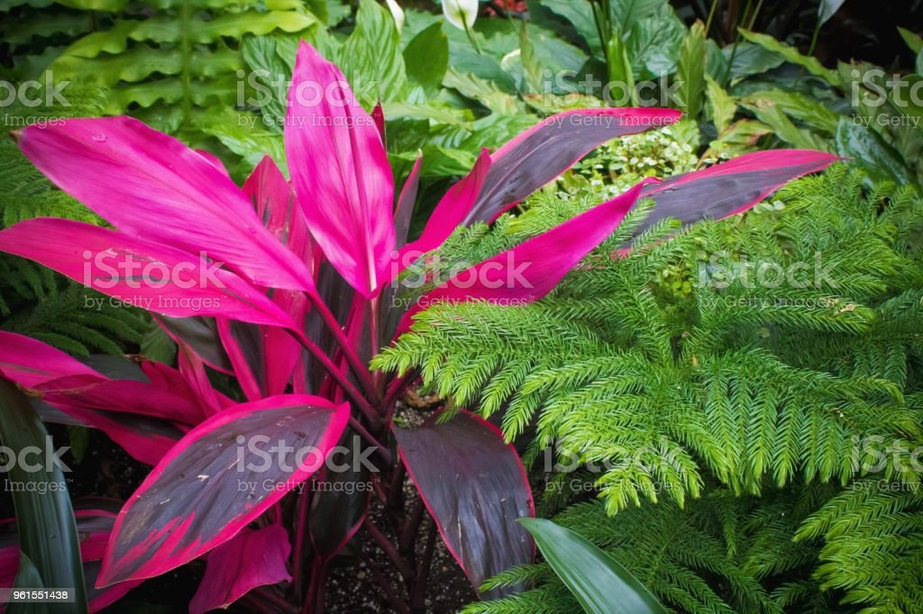 Red Fruited Palm Lily stock photo
