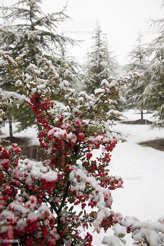 red fruits in snow at pine forest of ankara turkey royalty-free stock photo
