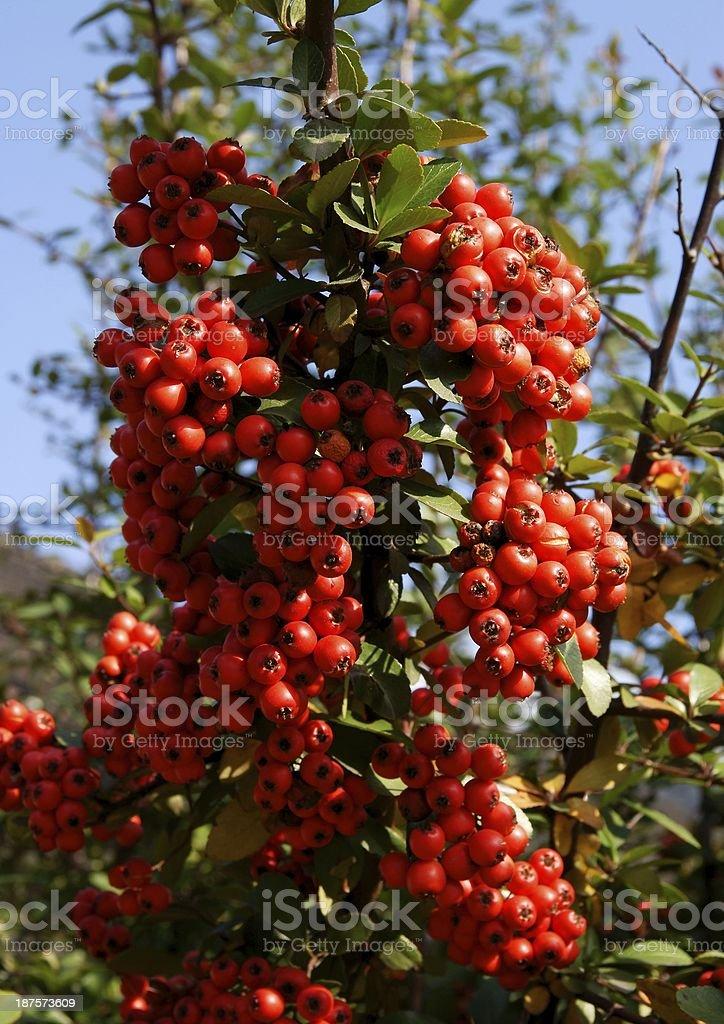 fruits rouges de plante ornementale dans le jardin à l'automne - Photo