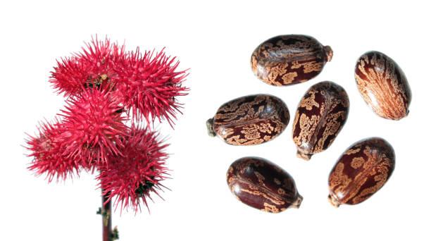 蓖麻上的紅色果實被白色隔開。蓖麻籽 (蓖麻) 在白色背景下的種子 - ricin 個照片及圖片檔