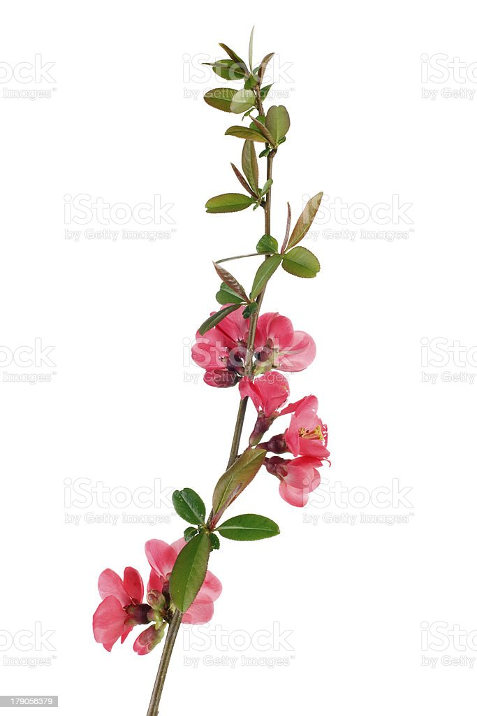 red fruit-tree flowers stock photo