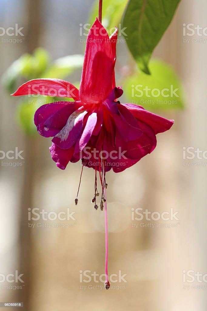 Red fuchsia macro royalty-free stock photo