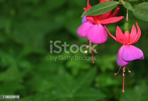 Red fuchsia close up against green backdrop.